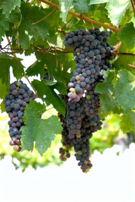 Grapes Diet Detox by The Grape Diet Healhty Detoxification Diet