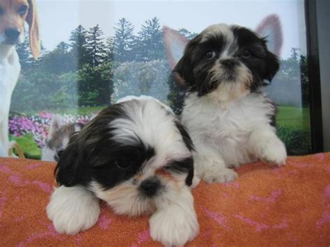 puppies for sale store puppies for sale dogs for sale puppy stores image 3220818 by puppiesforsale on