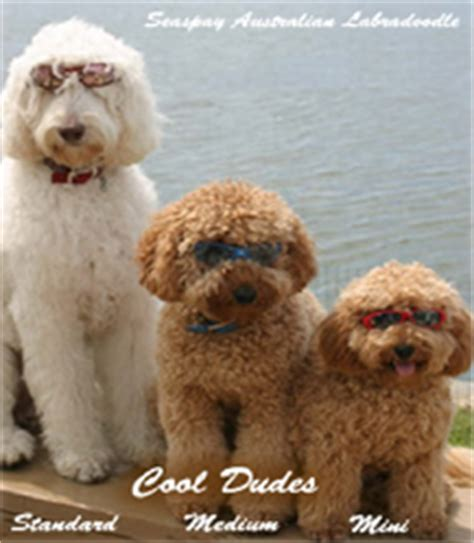 mini labradoodles size sizes of australian labradoodles miniature medium and