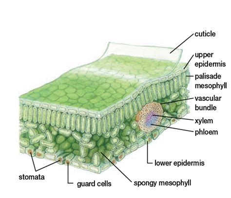 cross section of a leaf labeled tpsbiology11student plants anatomy growth and function