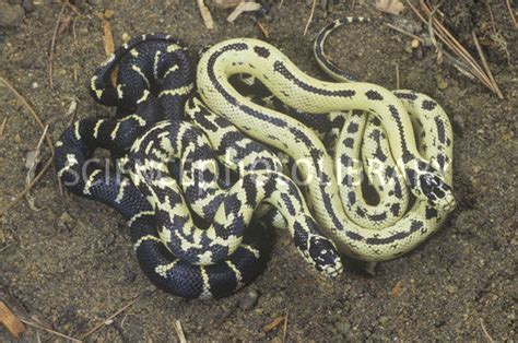 color variation in california king snakes stock image