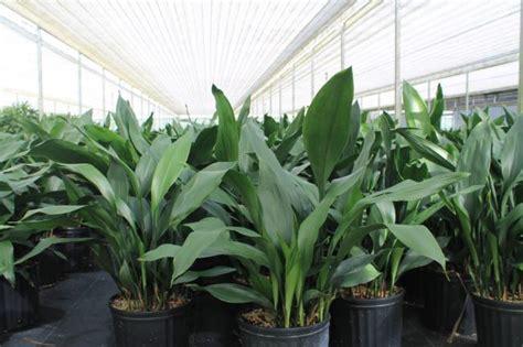 aspidistra elatior aspidistra elatior 10 quot farm life tropical foliage