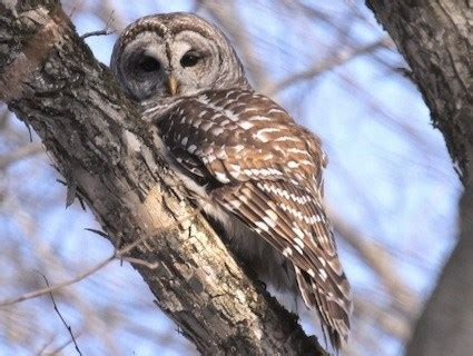 barred owl identification all about birds cornell lab