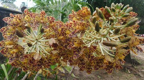 jenis jenis bunga anggrek beserta gambar  ciri cirinya
