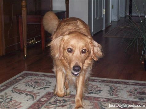 hypoallergenic golden retriever golden retriever breeds