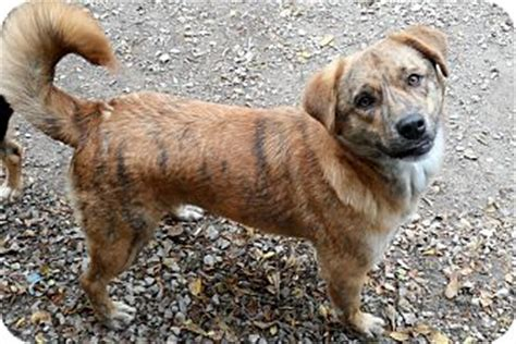 catahoula golden retriever mix copper adopted atchison ks catahoula leopard golden retriever mix