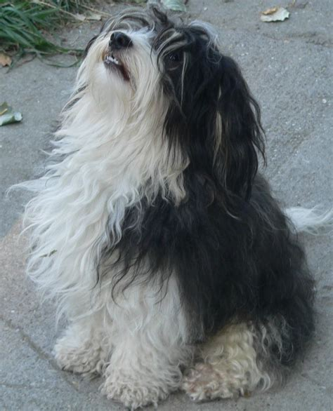 can havanese be left alone 17 best images about havanese dogs on coats dogs and island