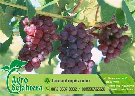 Jual Bibit Anggur Di Bandung jual bibit pohon anggur harga grosir