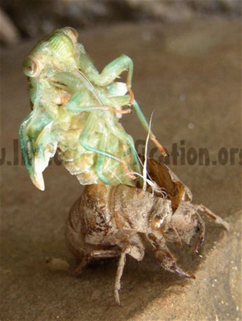 insect molting process in pictures