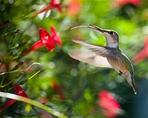 mating habits of hummingbirds michael shay s hummingbirdminds hummingbirds are but a handy metaphor