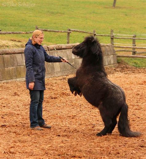 pferd liegen beibringen zirzensik pony cus