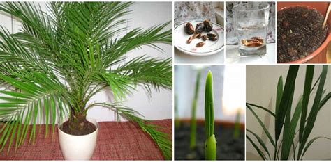 how to grow dates from how to grow date palm from seeds home design garden