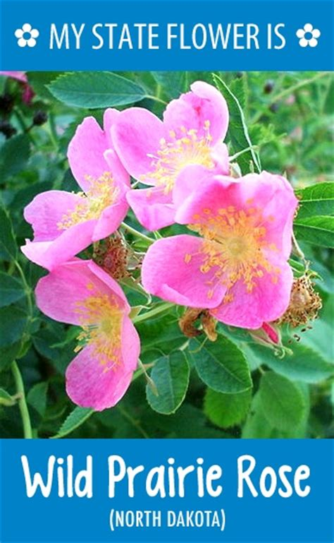 wild prairie rose iowa s state flower serious 50 best images about hometalk state flowers on pinterest