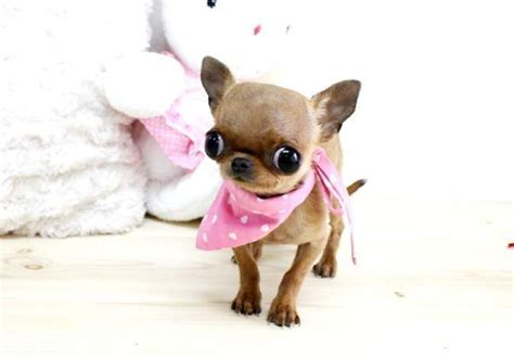 apple chihuahua puppies for sale apple tea cup chihuahua puppies for sale 4d37174553c82d27d200 breeds picture