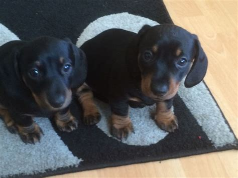 haired dachshund puppies for sale adorable haired dachshund puppies for sale south east pets4homes