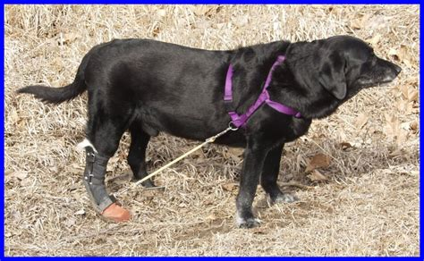 dragging back legs system for dogs with dragging hind leg
