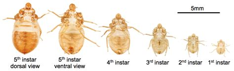 bed bugs pictures stages bed bug larvae stages bangdodo