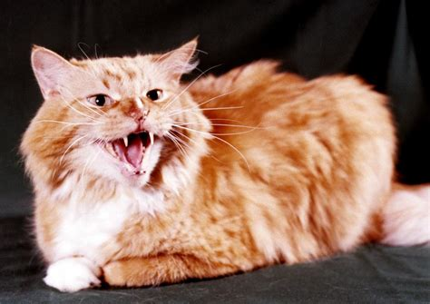 Angry Orange Tabby Photograph by Larry Allan