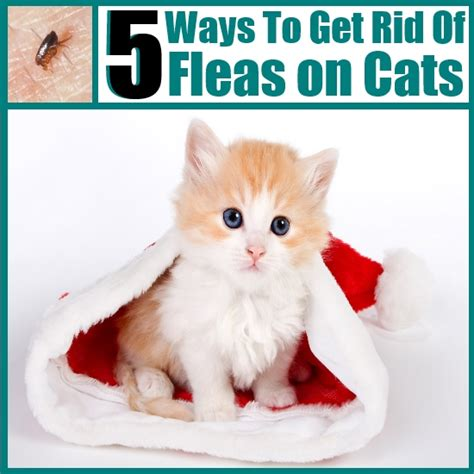 how to get rid of fleas on bed how to rid of fleas on cats
