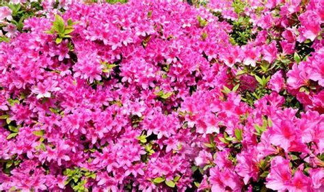 early flowering shrubs best six early flowering shrubs garden