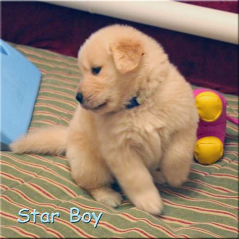 nashville golden retriever puppies for gold s golden retriever puppies