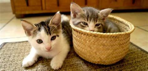 gatos en casa qu 233 necesito saber para recibir un gato en casa adopta mx