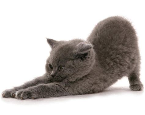 Royal Blue Cats 8 reasons to get a russian blue cat mashoid