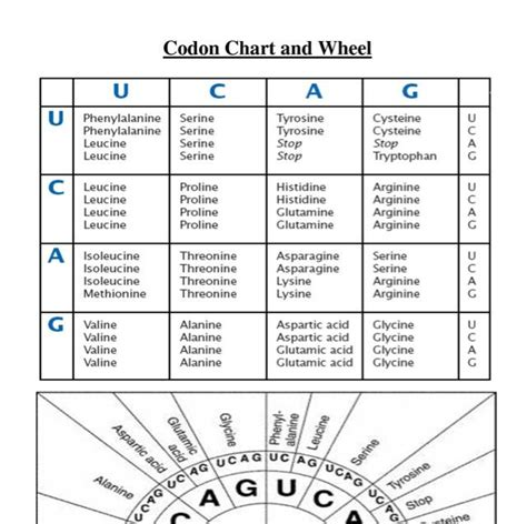 Codon Worksheet by Pics For Gt Dna Replication Transcription And Translation Chart