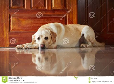 labrador dog house dog at home stock images image 34112694