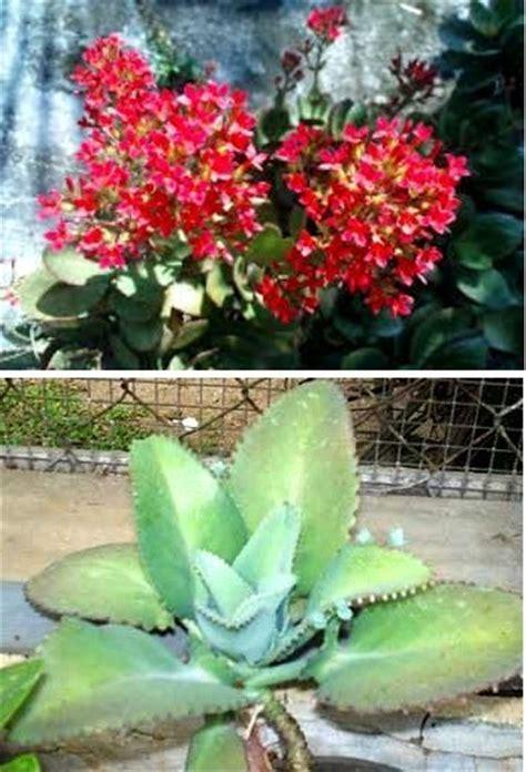 Tanaman Hias Cocor Bebek jenis jenis dan macam macam tanaman hias part ii jual