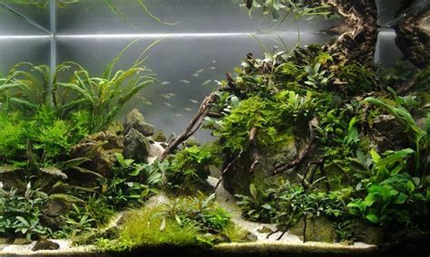 layout aquascape bucephalandra aquascape tank borneo biotope pinterest