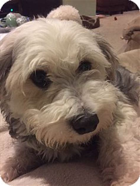 havanese puppies in ct orrino adopted glastonbury ct havanese poodle miniature mix