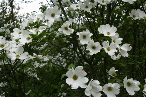 file white flower spring tree west virginia forestwander jpg