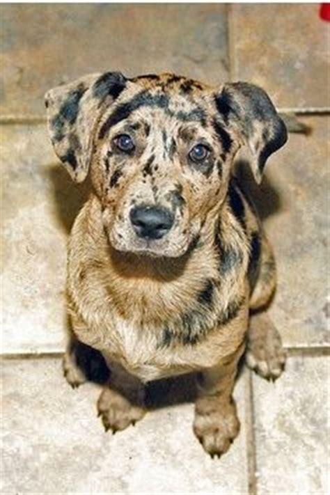 aussiedor puppies for sale aussiedor australian shepherd labrador retriever mix info and pictures