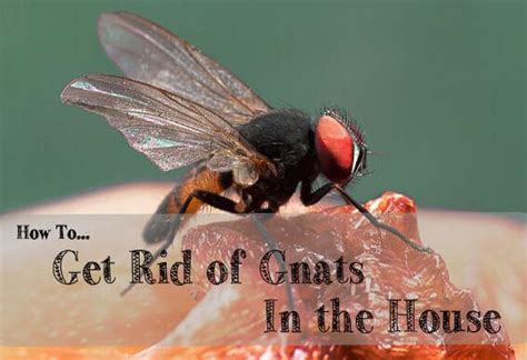 gnats in bedroom get rid of gnats in my bedroom www indiepedia org