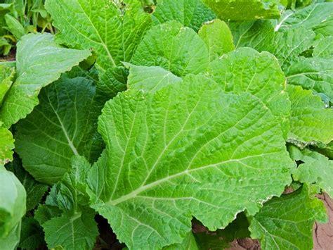u vegetables florida florida broadleaf mustard seeds farmer seeds
