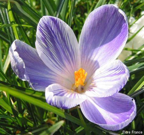 Crocus Plante Vivace Ou Annuelle by Plantes Oasis Crocus Vernus