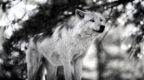 wolf wallpaper pinterest wolf pictures all about wolves wallpapers pinterest