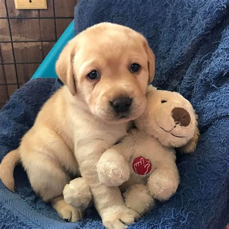 lab retriever puppies 17 best ideas about yellow labrador retrievers on