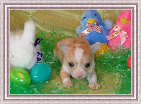 chihuahua puppies for sale in arkansas chichibabies chihuahuas greenwood ar chihuahua puppies for sale