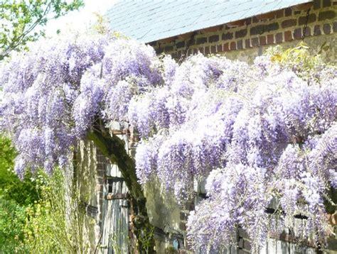 wisteria floribunda how to grow japanese wisteria