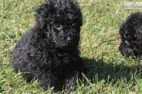 puli puppies for sale puli puppy for sale near kalamazoo michigan ad7443eb d0e1