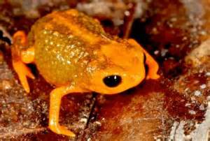 colored frogs seven new species of brightly colored miniature frogs are