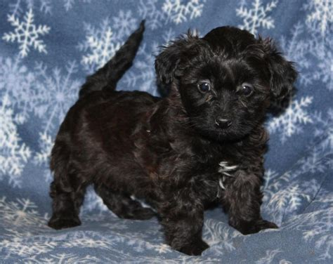 yorkie puppies for sale mn craigslist wonderful yorkie poo craigspets