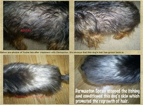 yorkie losing hair itchy yorkie with hair loss