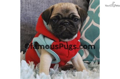 pug puppies for sale orange county 17 best ideas about pug puppies for sale on names for puppies pugs