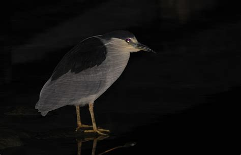 night herons and other nocturnal birding in southern