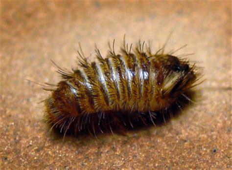 Carpet Beatle by знакомство с музейным кожеедом Dermestidae Anthrenus
