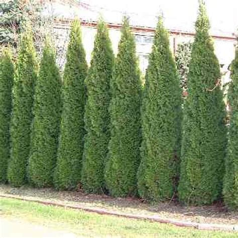 thuja occidentalis emerald smaragd car interior design