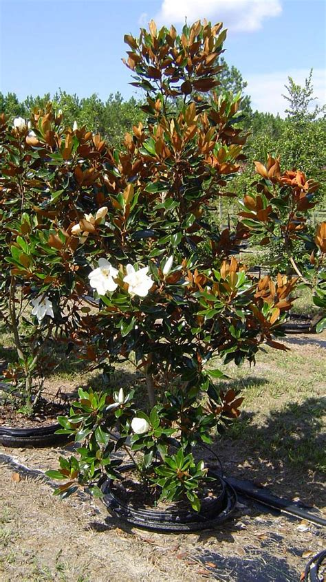 magnolia trees in florida gnewsinfo com
